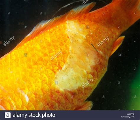 FISH DISEASES GOLDFISH WITH FUNGAL ATTACK Stock Photo - Alamy